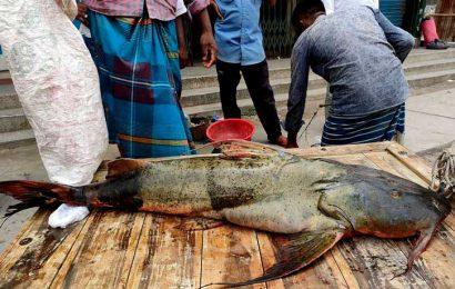 নাটোর বাজারে পদ্মায় ধরা পড়া ২৯ কেজি ওজনের বাঘাআইড় মাছ